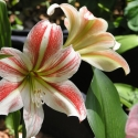 5 bulbs AMARYLLIS