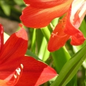 2 bulbs AMARYLLIS