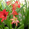 12 bulbs AMARYLLIS