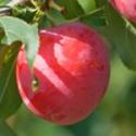 Scarlet Beauty PLUM TREE