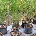 Wild Date Palms: 3 gal