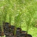Wild Date Palms: 7 gal