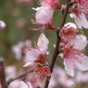 FlordaBelle PEACH TREE