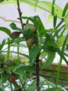 tiny nectarines forming