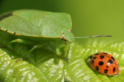 Lady Bug and the Aphid
