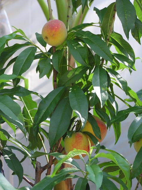 Tropic Beauty peaches