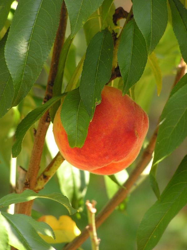 FlordaGlobe peaches
