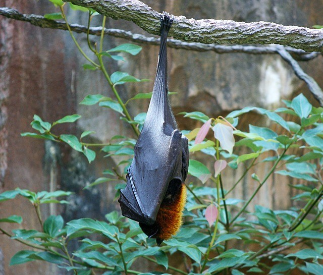 fruit bat: natural ways to repel mosquitoes