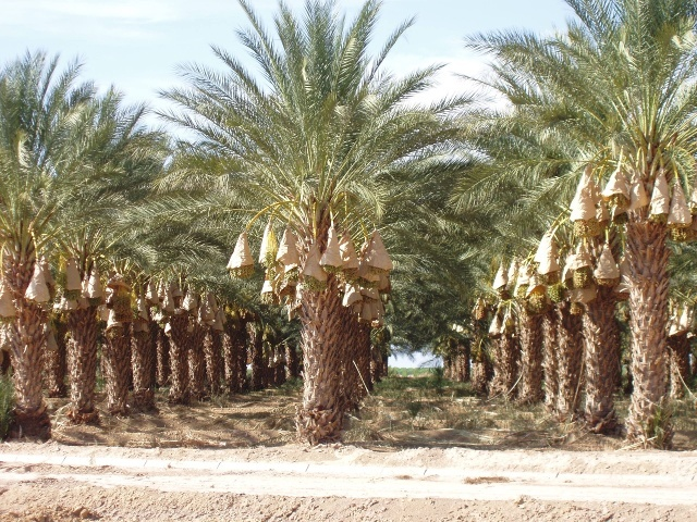 Mature Wild Date Palms