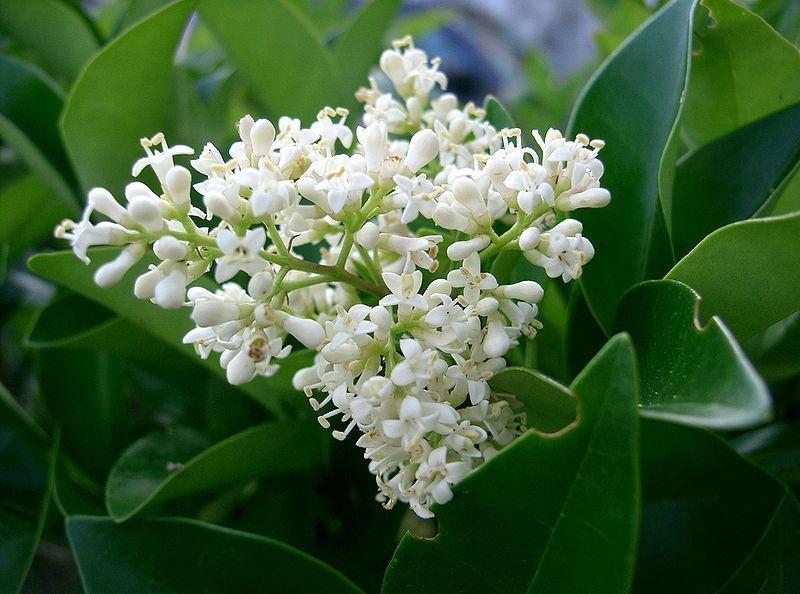 Ligustrum flowers