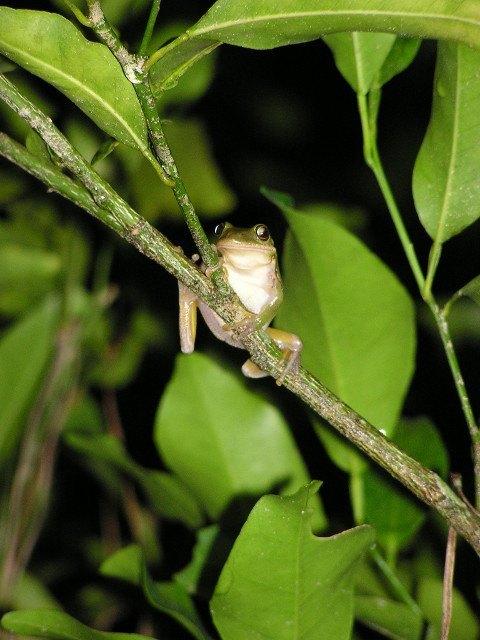 tree frog in citrus
