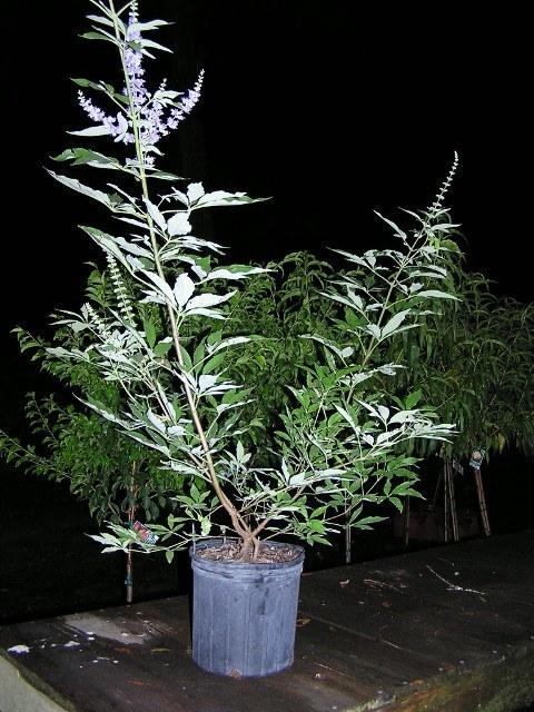 3 gal  Chaste Tree