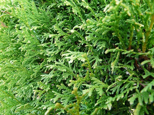 Thuja leaves
