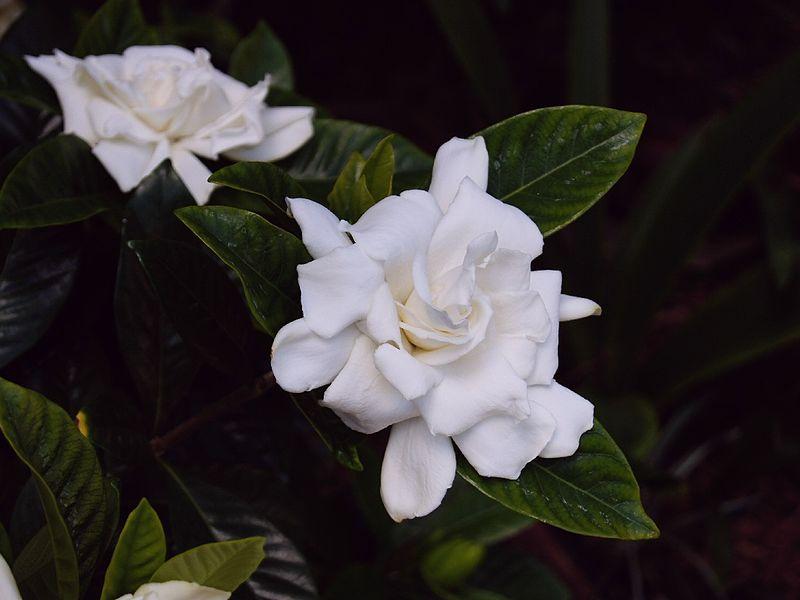 double white gardenia