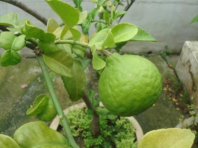 Kieffer Lime