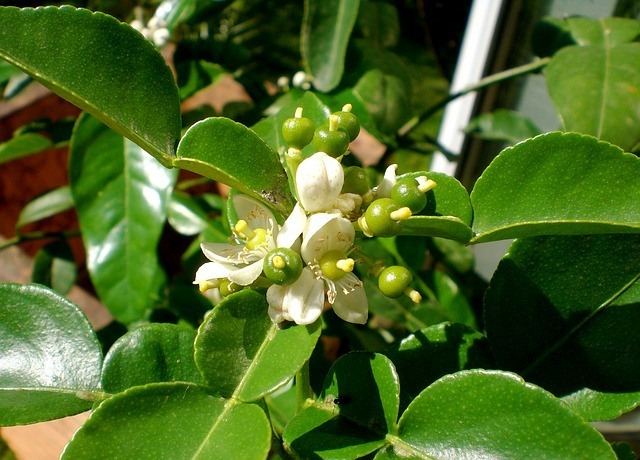 Kieffer Lime blossoms