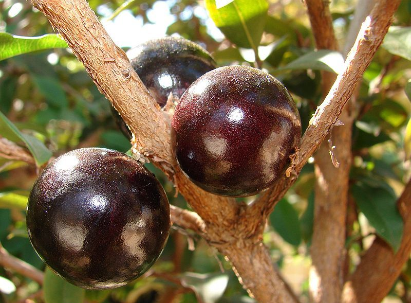 Jaboticaba fruit