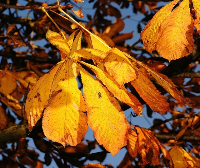 chestnut leaves in autumn