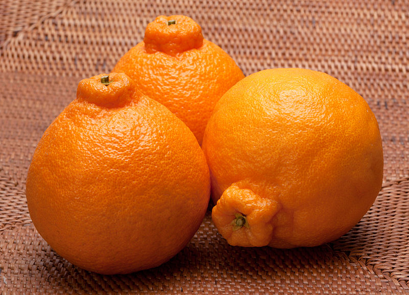 Shiranol aka Dekopon or Sumo Mandarin