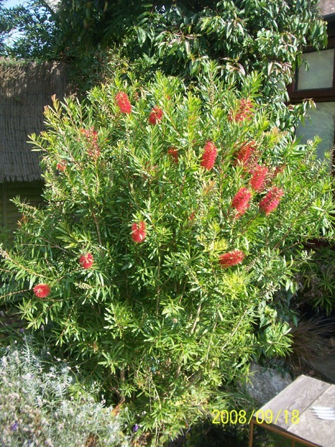 Bottlebrush bush