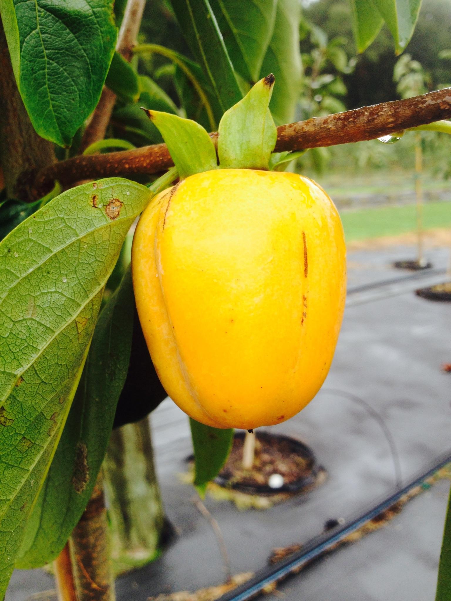 Saijo persimmon