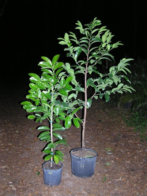 3g & 7g Black Sapote trees