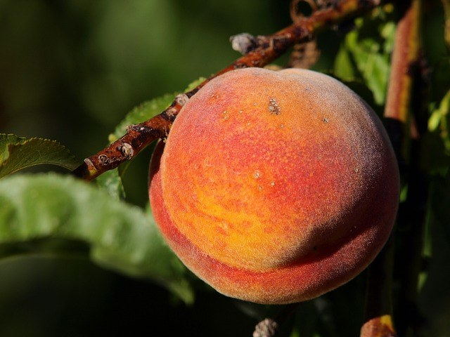 "Red Baron peach is 3"" diameter"