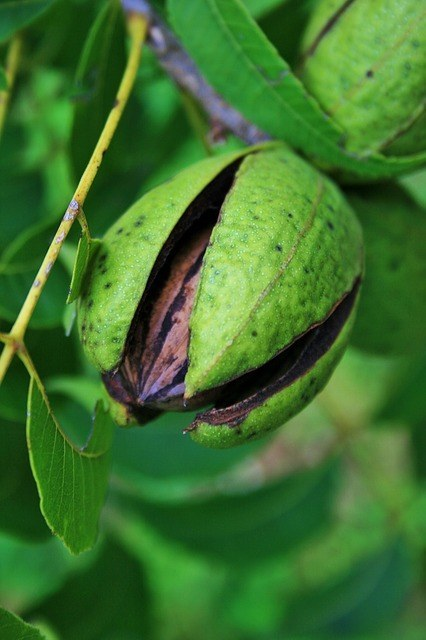 How To Grow A Pecan Tree In North Central Florida And