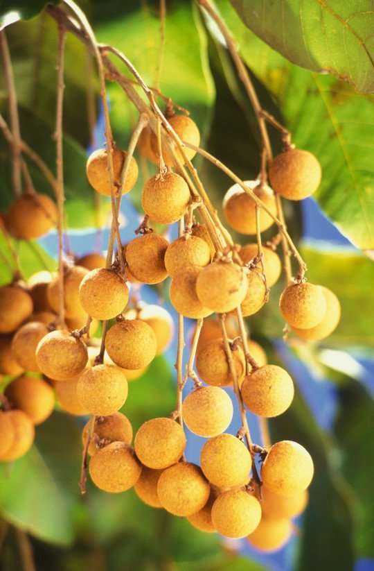 Longan -- Flavorful & Sweet: Tastes Like A Nutty Grape